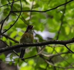 20180818-0I7A9148 (siddharthx) Tags: 2018 august2018 bwcpl beautifulbirds bird birdwatching birding birdinginthewild birdsinthewild canon canon7dmkii closerange congkakhululangat cottoncarrierg3 dawn dawntilldusk ef100400f4556isii ef100400mmf4556lisiiusm forest goldenhour hide hululangat kesslerkwik lamppost88lanchang lanchang my malaysia pristine promediagearkatanajr promediageartr424lpmgprostix rainforest sunrise sunset trek weekendtrips wild wildbirds wildlife pahang bandedkingfisher kingfisher