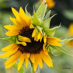 Sunflower Petals Askew (Jersey Camera) Tags: garden seeds petals flower sunflower