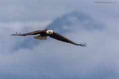 Gloomy Day Eagle (elliott845) Tags: baldeagle eagle birdofprey bird raptor haliaeetusleucocephalus washington washingtonstate pacificnorthwest pugetsound pnw animal wildlife predator birdinflight birdsinflight