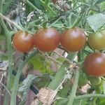 homegrown tomatos thumbnail