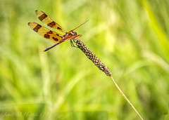 Dragonfly (jmhutnik) Tags: dragonfly insect wings