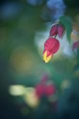 DSC02123 Weeping Chinese Lantern – Abutilon megapotamicum 'Variegatum' (Sugi Ong) Tags: makro sydney australia dof bokeh projector helicoid gardens art vintage