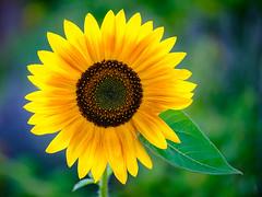 Just a sunflower... (der LichtKlicker) Tags: garten2018 garden flower plant bloom blossom sunflower sun flowers sonnenblume blume blüte sommer summer leaf blatt colorful farbig bunt nature natur hot heiss warm fujifilm fuji xt2 xf80mm macro makro lichtklicker