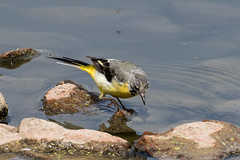 IMG_7809.jpg (TonyJ 3006) Tags: birds greywagtail places slimbridge