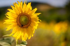 summertime (Rafael Zenon Wagner) Tags: sommer sonnenblume gelb grün pflanze blume deutschland eifel nikon d810 58mm 14 summer sunflower yellow green plant flower germany