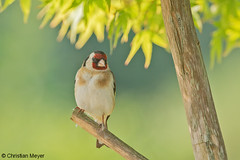 2018.05.24 - 1948 - Chardonneret élégant Bois Bas © (chmeyer51) Tags: oiseau chardonneretélégant fringillidae cardueliscarduelis