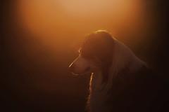 Dawn (Margarita Shalak) Tags: dawn animals aussie australian sheepdog summer atmosphere sun light silhouette