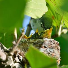 Blue gray Gnatcatcher (RKop) Tags: grandvalleypreserve raphaelkopanphotography d500 nikkor600f4evr 14xtciii ohio warblers warbler wildlife