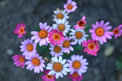 Shades of Pink (steveboer.com) Tags: pink flower daisy flora plant petal aster blossom nature daisies summer wildflower small blooming sitting margueritedaisy bright floweringplant garden spring little color daisyfamily floral colored group dahlia beautiful white asteraceae closeup chrysanths colorful outdoors gardencosmos several many