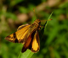 Zabulon Skipper (Dendroica cerulea) Tags: zabulonskipper poaneszabulon poanes hesperiinae hesperiidae papilionoidea lepidoptera insecta hexapoda arthropoda skipper butterfly insects invertebrate summer highlandparkmeadows highlandpark middlesexcounty nj newjersey fav10
