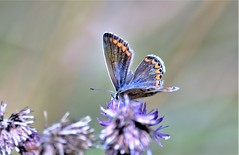 Frayed around the edges. (pstone646) Tags: butterfly nature blue insect feeding animal wildlife wildflower bokeh colours kent purple pollination