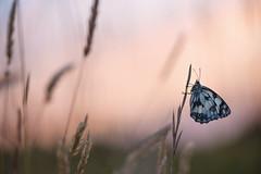 Star d'un soir (Julien Prazzoli) Tags: papillon butterfly nikon paysage macroscape macro demideuil france onlythebest nature insect insecte d800 proxy summer sud