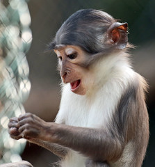 whitecapmangabey Blijdorp JN6A9510 (j.a.kok) Tags: animal africa afrika aap monkey mammal mangabey blijdorp witkruinmangabey whitecapmangabey zoogdier dier