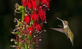 Ruby-throated Hummingbird: Archilochus colubris - juvenile male -