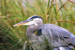 Settled In (dianne_stankiewicz) Tags: heron marsh coastal greatblueheron wildlife bird nature