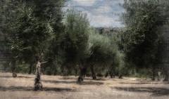 Natürlich. die Oliven. (EUgenG_) Tags: textur kreta landscape
