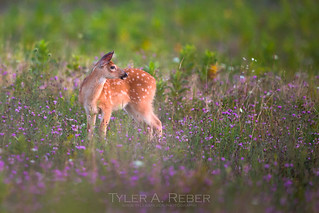Fawn in a Field of Flowers
