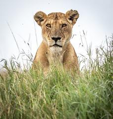 POV (ラルフ - Ralf RKLFoto) Tags: kenia kenya masaimara narok natur safari tiere animals wildlife lioness lion löwe löwin