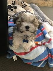 Cute Dog (CR1 Ford LTD) Tags: dog dogs cutedog smalldog petdog