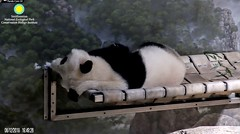 2018_08-12za (gkoo19681) Tags: beibei chubbycubby fuzzywuzzy adorableears naptime wrinkly fluffy comfy toocute adorable precious darling meltinghearts contentment ccncby nationalzoo