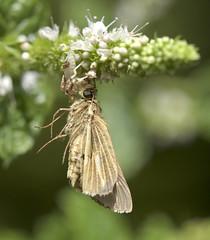 Ambush Bug with Saltmarsh Skipper (brian.magnier) Tags: new jersey nature wildlife animals outdoors