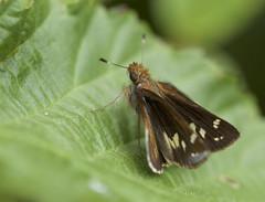 Zabulon Skipper female 2 (brian.magnier) Tags: new jersey nature wildlife animals outdoors