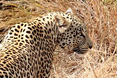 leopard stare (Chris the Borg) Tags: leopard wild beast animal sauvage bush afrique du sud south africa pilanesberg stare regard look eyes yeux nature beauté beauty