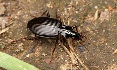 5118 Platynus assimilis (jon. moore) Tags: carabidae coleoptera trenchwood worcestershire platynusassimilis
