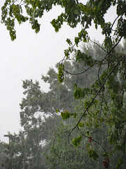 Summer Rain Storm. (dccradio) Tags: lumberton nc northcarolina robesoncounty outdoor outdoors outside nature natural rain raining water shower showers torrentialrain downpour weather august lateafternoon evening summer summerrain summerrains summertime canon powershot elph 520hs tree trees summerfoliage foliage greenery wetleaves treelimb treelimbs treebranch branch treebranches soggy sky cloudy overcast