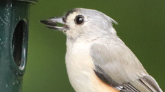 Titmouse (blazer8696) Tags: 2018 brookfield ct connecticut ecw obtusehill t2018 tabledeck usa unitedstates baebic baeolophus baeolophusbicolor bicolor bird img0006 paridae passeriformes songbird titmouse tufted tuftedtitmouse tuti