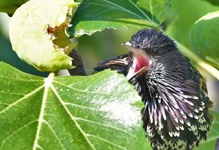 Etourneau-sansonnet - Sturnus vulgaris - European starling