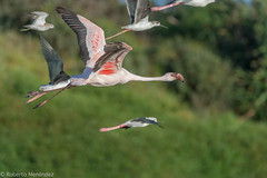 Flamenco enano,lesser flamingo(phoenicopterus minor) (robertonatura) Tags: birding lesser flamingo flamenco enano phoenicopterus minor nikon wildlife