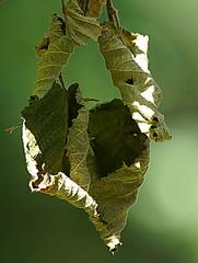 Hanging on (SteveJM2009) Tags: dry dead leaf hanging holt dorset uk august 2018 stevemaskell