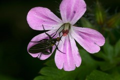 Empis pennipes (chug14) Tags: macro insecte unlimitedphotos animalia arthropoda hexapoda insecta diptera brachycera empididae empispennipes
