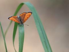 Licena delle paludi (lycaena dispar) (Paolo Bertini) Tags: licena paludi lycaena dispar vo pindemonte vigasio verona butterfly farfalla