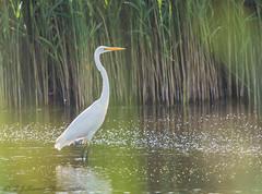 Great white egret (ian._harris) Tags: august rspb naturaleza natural sigma d7200 nature naturephotography summer somerset 500f45