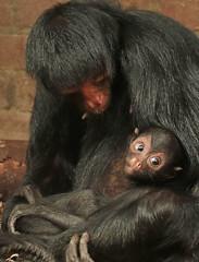 redfaced spidermonkey artis JN6A0484 (j.a.kok) Tags: spidermonkey redfacedspidermonkey slingeraap roodgezichtslingeraap animal artis southamerica zuidamerika aap mammal monkey primate primaat zoogdier dier shanna