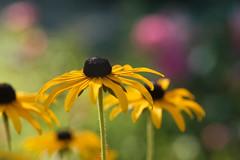 festival de couleurs d'été (christophe.laigle) Tags: christophelaigle fleur macro nature flower fuji sunny jaune xpro2 xf60mm yellow rudbeckia