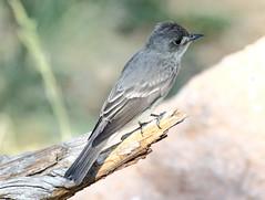 Olive-sided Flycatcher (Contopus cooperi); Santa Fe National Forest, NM, Thompson Ridge [Lou Feltz] (deserttoad) Tags: wildlife nature newmexico mountain desert bird wildbird flycatcher