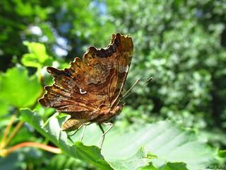 Butterfly 1714