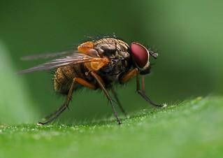 Mydaea corni (Muscidae), Parc de Woluwé, Bruxelles