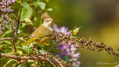 MacGillivray's Warbler (Bob Gunderson) Tags: birds california fortmason geothlypistolmiei macgillivaryswarbler northerncalifornia sanfrancisco warblers woodwarblers