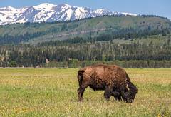 Chowing down (docoverachiever) Tags: buffalo scenery tetons mammal grandtetonnationalpark meadow green bison wildlife animal