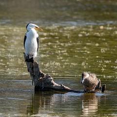 Prepare To Repel Boarders! (gecko47) Tags: bird birds cormorant littlepiedcormorant phalacrocoraxmelanoleucos duck teal australiangreyteal anasgracilis log perch lagoon buckleyshole bongaree bribieisland