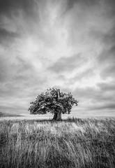Stumped (grbush) Tags: tree lonetree minimalism minimalist blackwhite bw monochrome landscape field rural countryside clouds storm dramatic dramaticsky stormclouds northamptonshire england sonyilce7 tokinaatx116prodxaf1116mmf28 grass