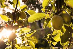 Sun-ripened (Christian Hacker) Tags: appletree apple sunshine backlight crediton summer morning sunrise sunbeam lensflare leaves tree fruit devon canon eos50d tamron 1750mm uk light warm warmth golden