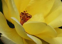 DSC_0964 (PeaTJay) Tags: nikond750 sigma reading lowerearley berkshire macro micro closeups gardens outdoors nature flora fauna plants flowers rose roses rosebuds