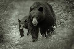 Follow me (wesleybarr1962) Tags: blackbear cub bearcub blackbearcub ursusamericanus blackwhite