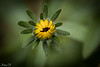 Becoming a flower (Irina1010) Tags: flower bud yellow macro bokeh summer nature outdoors canon coth5 ngc