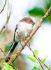 Long-tailed tit juvenile  (Aegithalos caudatus) (Concordia Images) Tags: ptakipolski bartsiwek d700 longtailedtit longtailedbushtit bieszczady raniuszek
